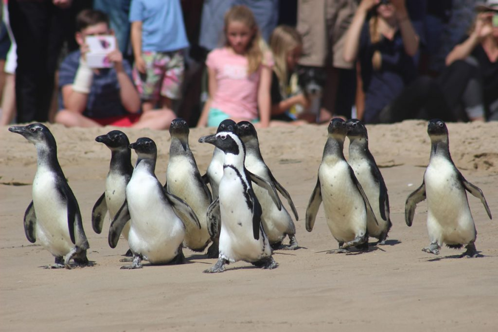 Penguin release on Lookout beach in Plettenberg Bay. Photo: Brendon Morris