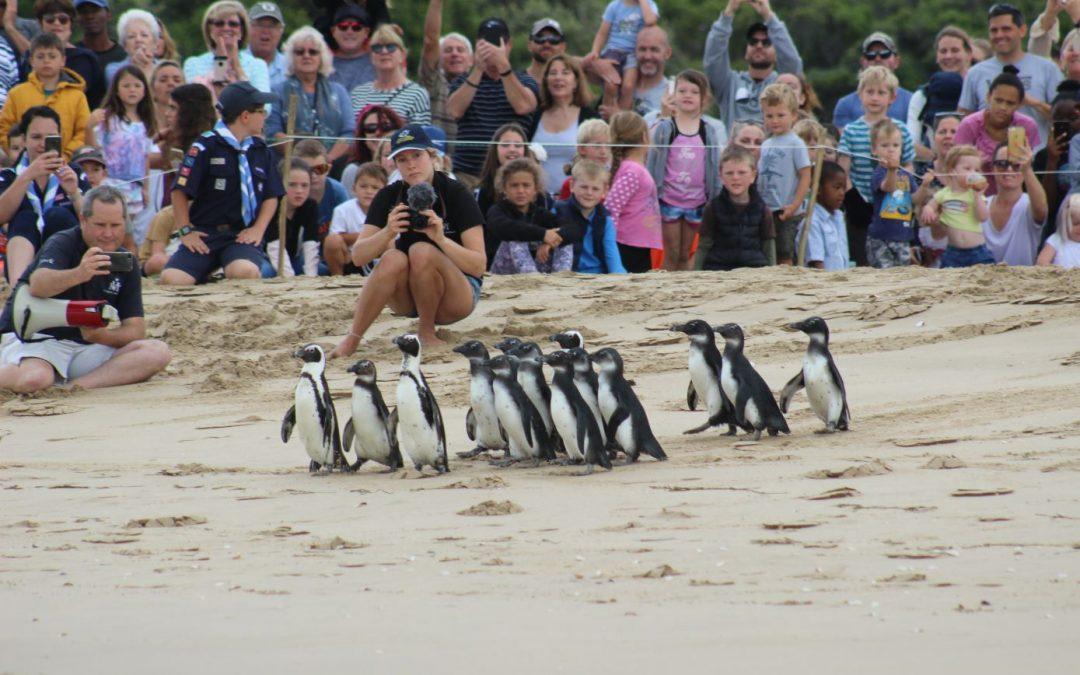 Video: Rehabilitated penguins released in Plett