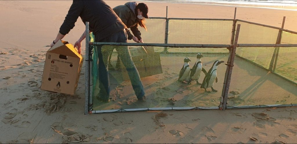 Four rehabilitated penguins released from Plett's Lookout beach - Live streamed to you