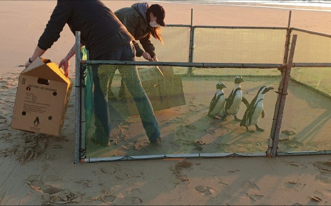 Penguin release streamed live from Lookout beach in Plett